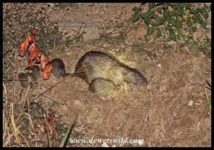 A family of Greater Greater Cane-rat