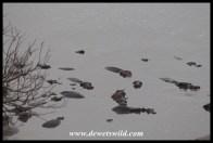 Hippos in Mlondozi Dam