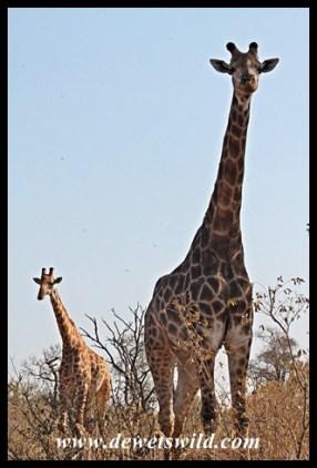 Spectacular giraffe sighting