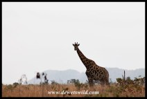 Giraffe, with Nkumbe in th background