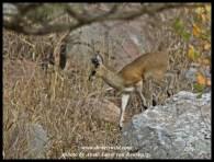 Klipspringer on Nkumbe Mountain