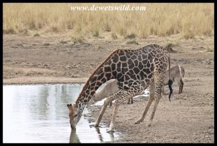 Giraffe drinking at Mazithi (Kruger Park)