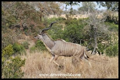 Frightened kudu