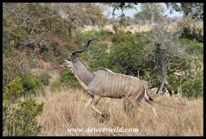 Frightened kudu