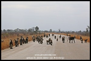 A huge troop of baboons