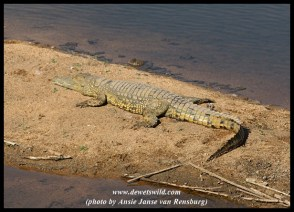 Crocodile in the Sabie
