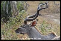 Another kudu