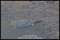Serrated Terrapin in the Sabie