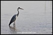 Grey heron in the Sabie