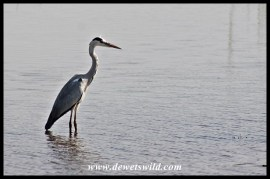 Grey heron in the Sabie