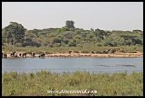 Elephants and impalas mingle on the bank of the Sabie
