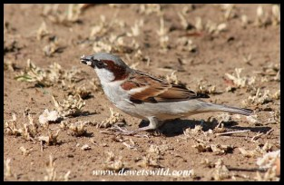 House sparrow at Mpila