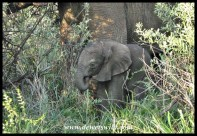 Tiny elephant calf