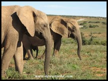 Elephant cows in Addo are mostly tuskless