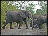 Elephant herd crossing a road in Kruger Park