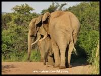 Three big bulls walking in single file along a road in the Pilanesberg