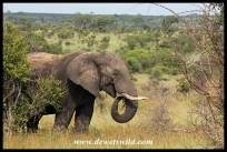 Mature elephant bull