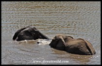 Elephants love playing in water, even big bulls like this