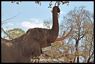 Thanks to their trunk elephants have excellent reach when browsing
