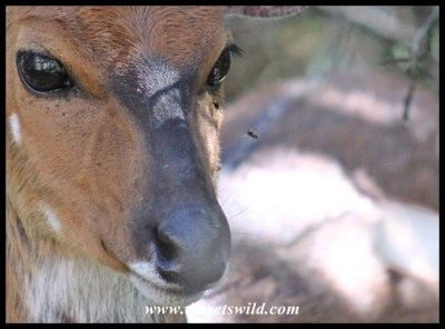 Bushbuck irritation