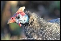 Curious Helmeted Guineafowl
