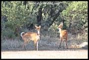 Alert bushbuck ewes