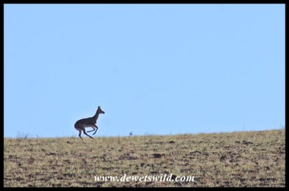Mountain reedbuck on the run