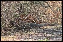 Cape Grey Mongoose