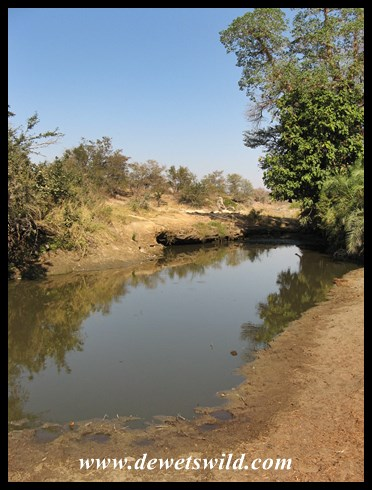 A deep pool in the Sweni, home to a nursery of baby crocodiles