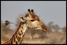 Giraffe and oxpecker