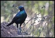 Burchell's starling