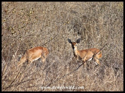 Pair of steenbok near base camp