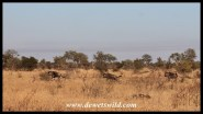 Blue wildebeest on the run