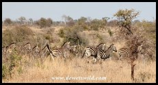 Plains zebras making their escape
