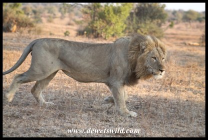 Male lion in his prime