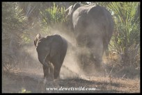 Elephant calf playing with the dust