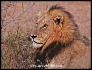 World Lion Day 2015