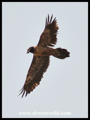 Bearded Vulture (juvenile)