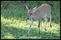 Common Duiker ewe