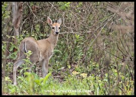 Common Duiker in typical habitat