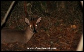 Common Duiker at night