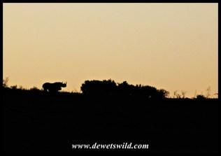 Black rhino sunset