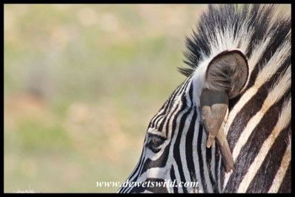 Red-billed Oxpecker climbing into a zebra's ear