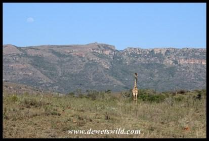 The giraffe is Ithala's emblem