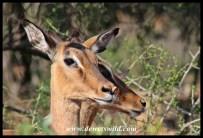 Impala ewes