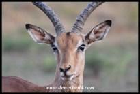 Impala ram portrait