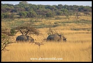 White rhinos in long grass