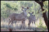 Kudu cow and calves