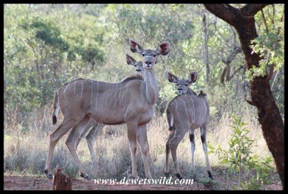 Kudu cow and calves