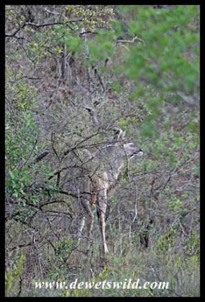 Well-hidden kudu bull